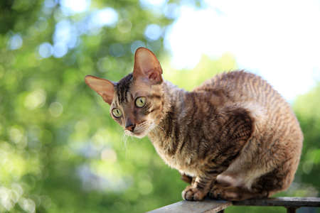 Cornish rex gray cat sitting on railing photo