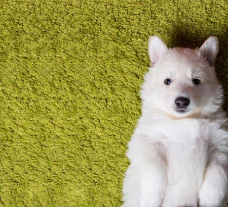 green carpet: Baby swiss shepherd laying on green carpet Stock Photo