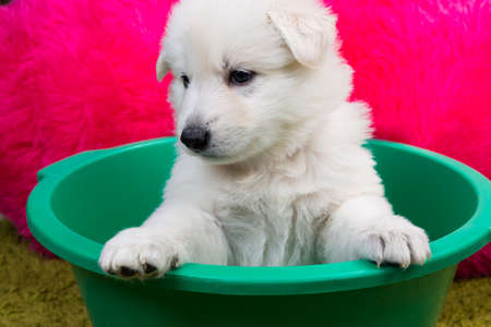 Baby swiss shepherd sitting in green wash photo