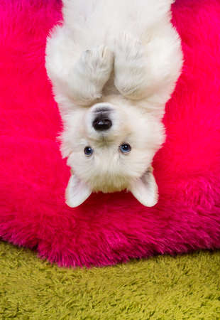 Baby white swiss shepherd hanging upside down photo