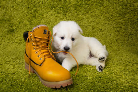 Baby swiss shepherd playing with yellow boot photo