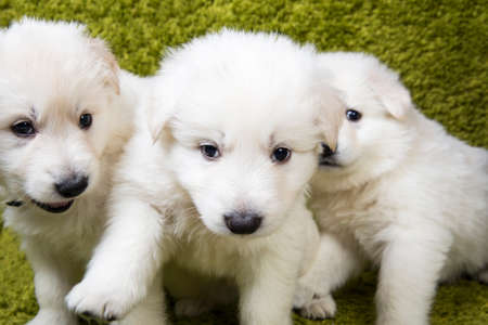 Three baby swiss shepherd sitting in green wash photo