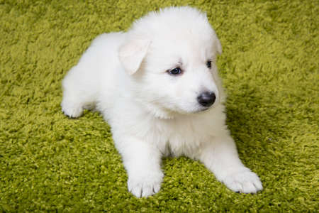 Baby swiss shepherd sitting on green carpet