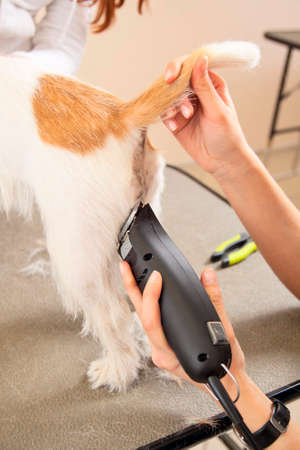 mows: Hairdresser mows Jack Russell Terrier fur on the rear with a trimmer
