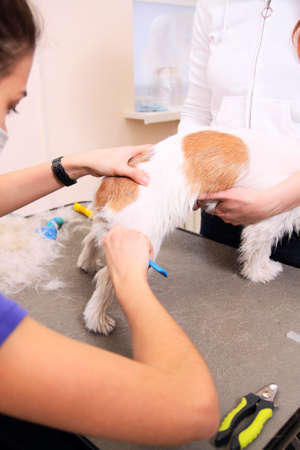 Jack Russell Terrier getting his hair cut at the groomer Stock Photo - 26860572