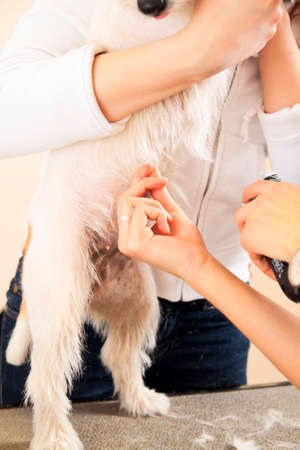 coif: Hairdresser mows Jack Russell Terrier fur on the belly with a trimmer