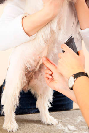 mows: Hairdresser mows Jack Russell Terrier fur on the belly with a trimmer