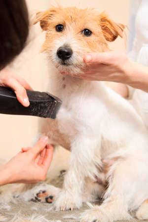 mows: Hairdresser mows Jack Russell Terrier fur on the chest with a trimmer