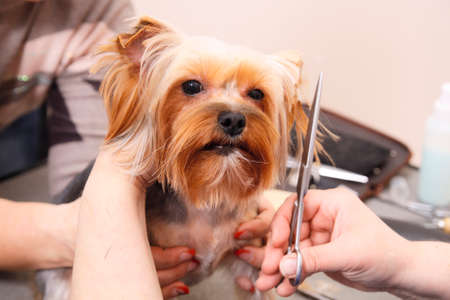 coif: Yorkshire Terrier getting his hair cut at the groomer