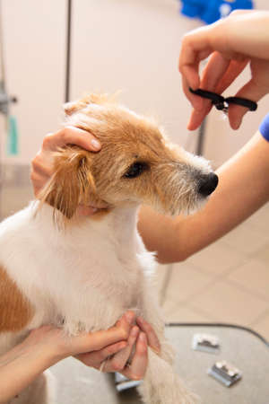 Hairdresser mows Jack Russell Terrier fur on the head with a scissors Stock Photo - 27177129