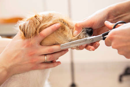Hairdresser mows Jack Russell Terrier fur on the head with a scissors Stock Photo - 27177130