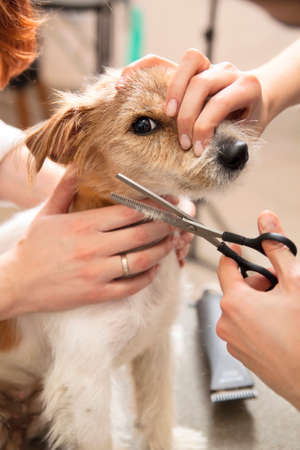 Hairdresser mows Jack Russell Terrier fur on the head with a scissors Stock Photo - 27177134