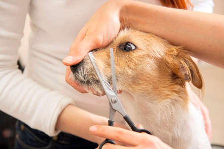 Hairdresser mows Jack Russell Terrier fur on the head with a scissors Stock Photo - 27177139