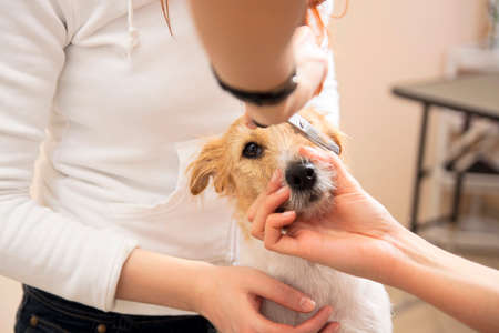 Hairdresser mows Jack Russell Terrier fur on the head with a scissors Stock Photo - 27177140