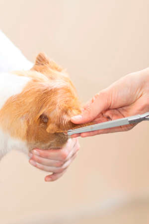 Hairdresser mows Jack Russell Terrier fur on the head with a scissors Stock Photo - 27177142