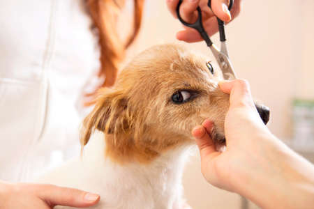 Hairdresser mows Jack Russell Terrier fur on the head with a scissors Stock Photo - 27177143