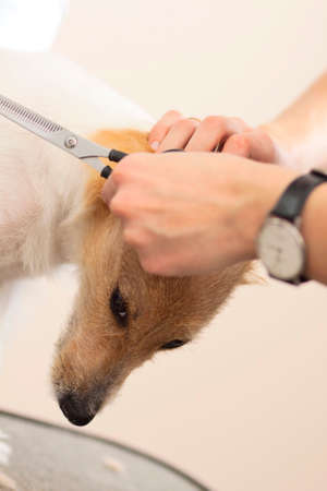 mows: Hairdresser mows Jack Russell Terrier fur on the head with a scissors