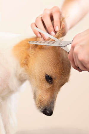 Hairdresser mows Jack Russell Terrier fur on the head with a scissors Stock Photo - 27177148