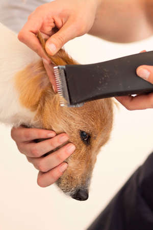 Hairdresser mows Jack Russell Terrier fur on the head with a trimmer Stock Photo - 27140813