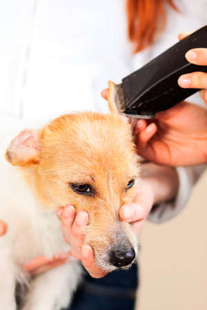 Hairdresser mows Jack Russell Terrier fur on the head with a trimmer Stock Photo - 27140817
