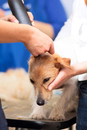 Hairdresser mows Jack Russell Terrier fur on the head with a trimmer Stock Photo - 27140822