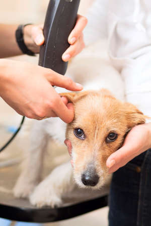 Hairdresser mows Jack Russell Terrier fur on the head with a trimmer Stock Photo - 27182093