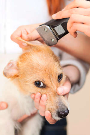 Hairdresser mows Jack Russell Terrier fur on the head with a trimmer Stock Photo - 27182094