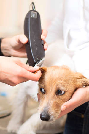 Hairdresser mows Jack Russell Terrier fur on the head with a trimmer Stock Photo - 27182095