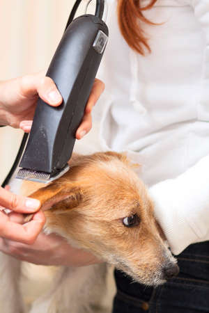 mows: Hairdresser mows Jack Russell Terrier fur on the head with a trimmer
