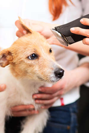 Hairdresser mows Jack Russell Terrier fur on the head with a trimmer Stock Photo - 27182097