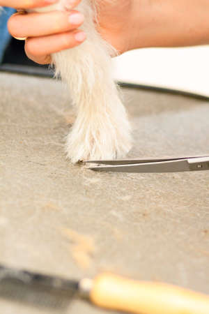 paw russell: Hairdresser mows Jack Russell Terrier fur on the paw with a scissors
