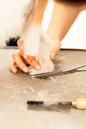 Hairdresser mows Jack Russell Terrier fur on the paw with a scissors Stock Photo - 27182118