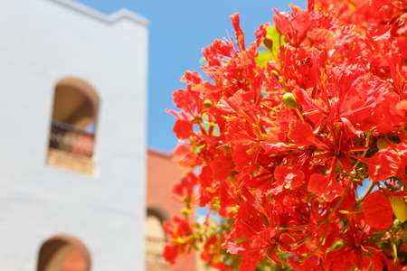 appointed: Blooming acacia near apartments in the resort