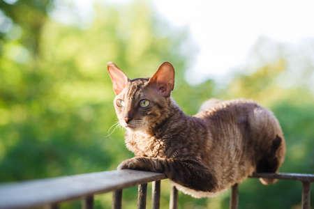 cornish rex: Cornish rex gray cat laying on railing