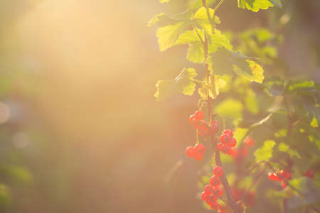 shined: The berries of a red currant shined by solar beams