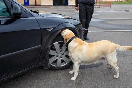 labrador retriever: Labrador retriever Customs dog sitting on scale