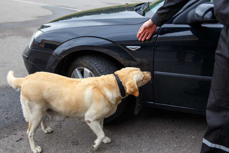 sniff dog: Labrador retriever Customs dog sitting on scale