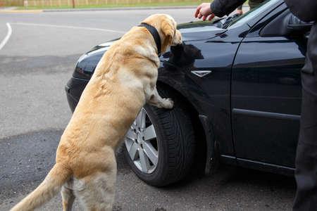 Labrador retriever Customs dog sitting on scale Stock Photo