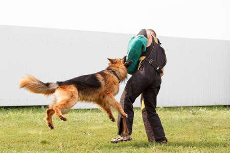 German shepherd training. Honing the skills of defense against attacks