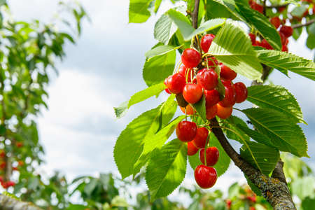 Sweet cherry red berries on a tree branch close up. Selective focus