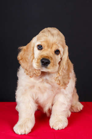american cocker spaniel puppy Stock Photo