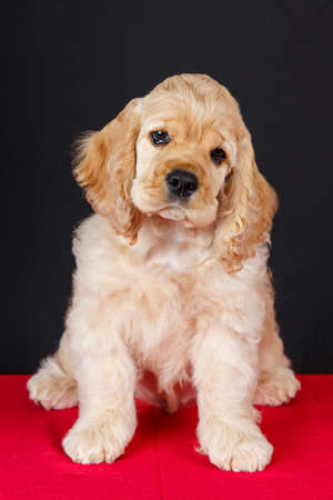 赤いテーブルの上に座っているアメリカン ・ コッカー ・ スパニエル子犬 写真素材