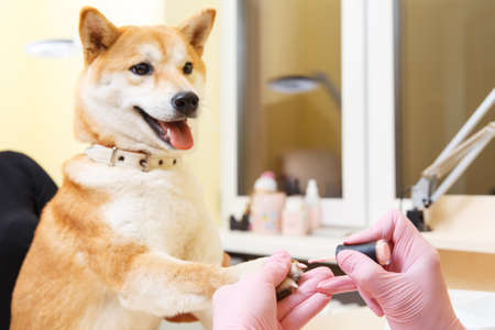 Shiba Inu dog an appointment at the beautician in a beauty salon. Close up. Фото со стока