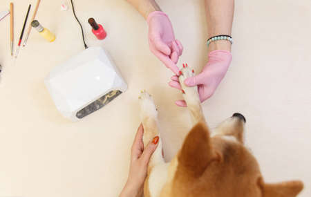 Shiba Inu dog an appointment at the beautician in a beauty salon. Close up. Stock Photo