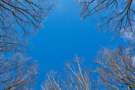 The canopy of tall trees framing a clear blue sky