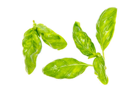 Fresh basil leaves in closeup. Isolated on white background.