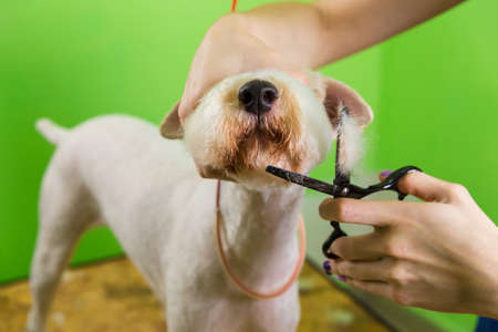 Fox terrier getting his hair cut at the groomer. Isolated on green background.