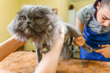 barber: Persian cat sheared in the beauty salon for the animals. The cat is afraid and angry.