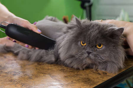 hiss: Persian cat sheared in the beauty salon for the animals. The cat is afraid and angry.