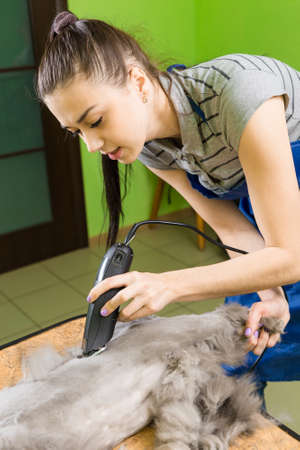 hiss: Cat grooming in pet beauty salon. The wizard uses the trimmer clipper cat.
